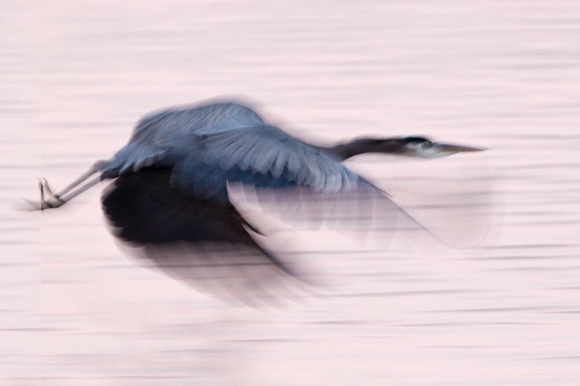 Great Blue Heron Blur